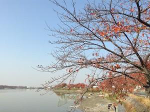 川越・伊佐沼の桜